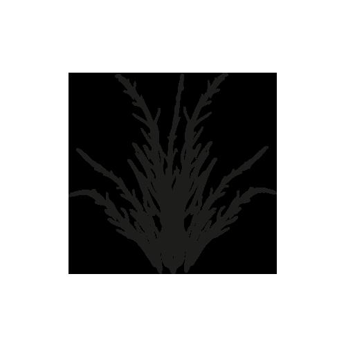 Salicornia thumbnail
