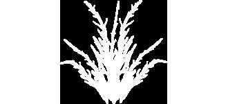 Salicornia thumbnail white